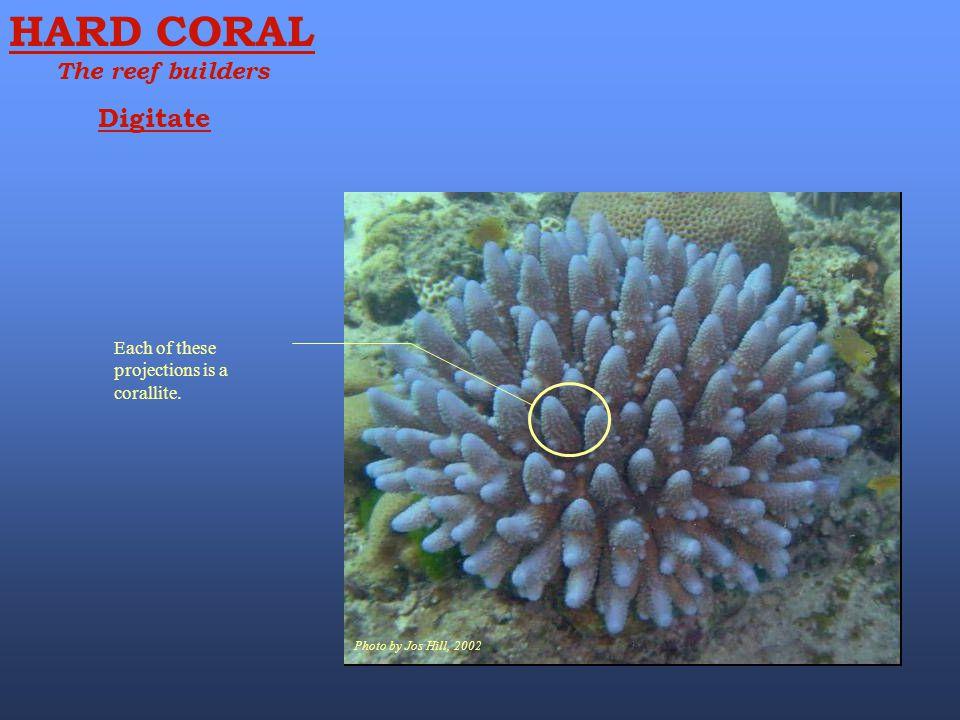 HARD CORAL Digitate The reef builders