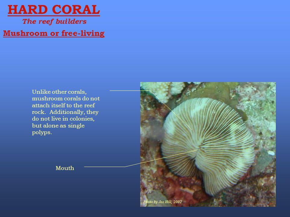 HARD CORAL Mushroom or free-living The reef builders