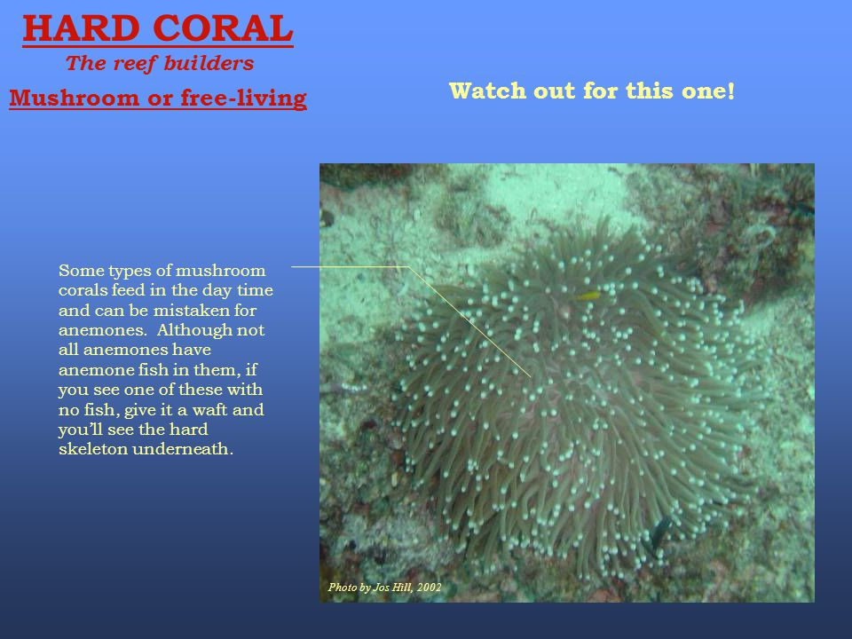 HARD CORAL Watch out for this one! Mushroom or free-living
