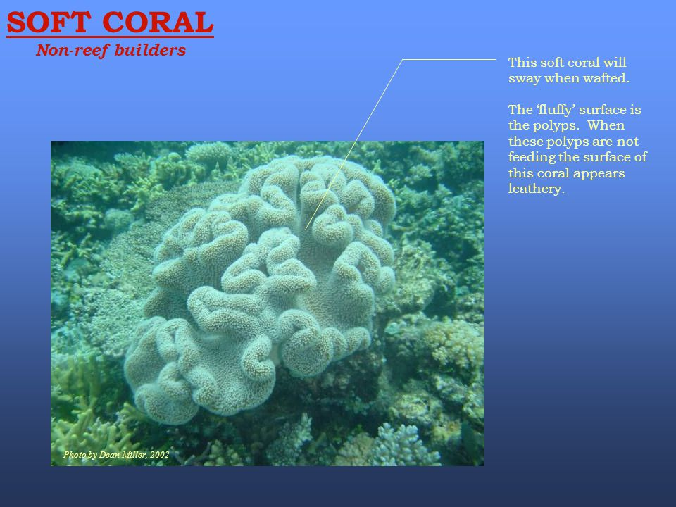 SOFT CORAL Non-reef builders This soft coral will sway when wafted.