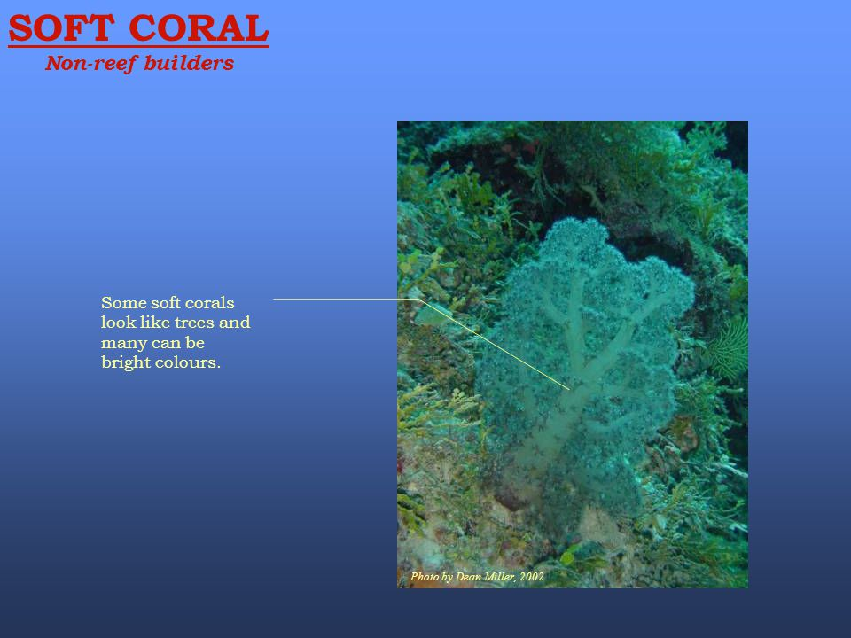 SOFT CORAL Non-reef builders