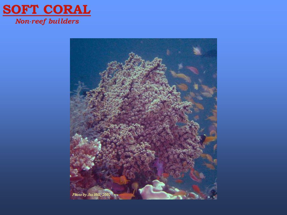 SOFT CORAL Non-reef builders Photo by Jos Hill, 2002