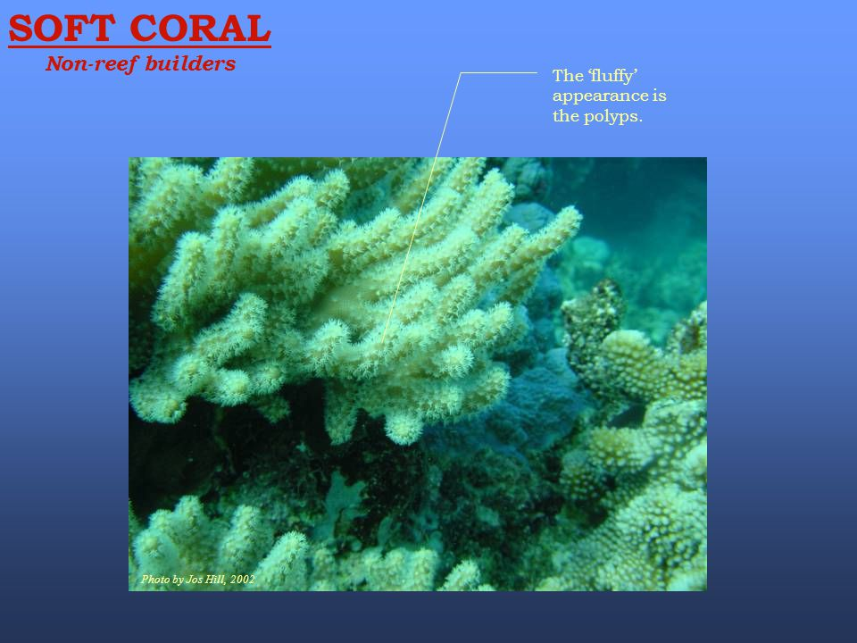 SOFT CORAL Non-reef builders The 'fluffy' appearance is the polyps.