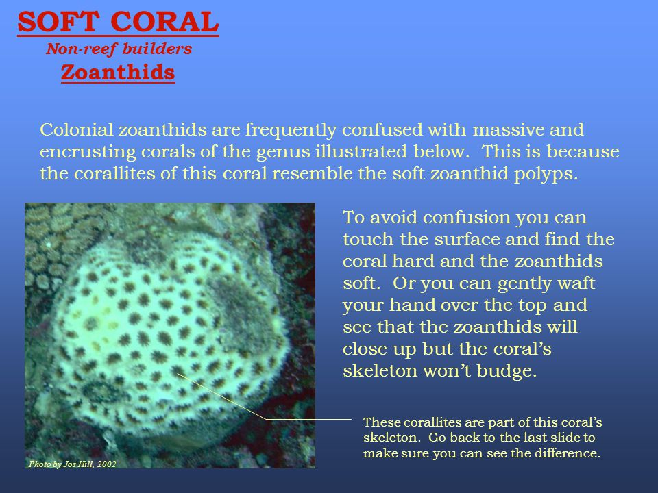 SOFT CORAL Non-reef builders. Zoanthids.