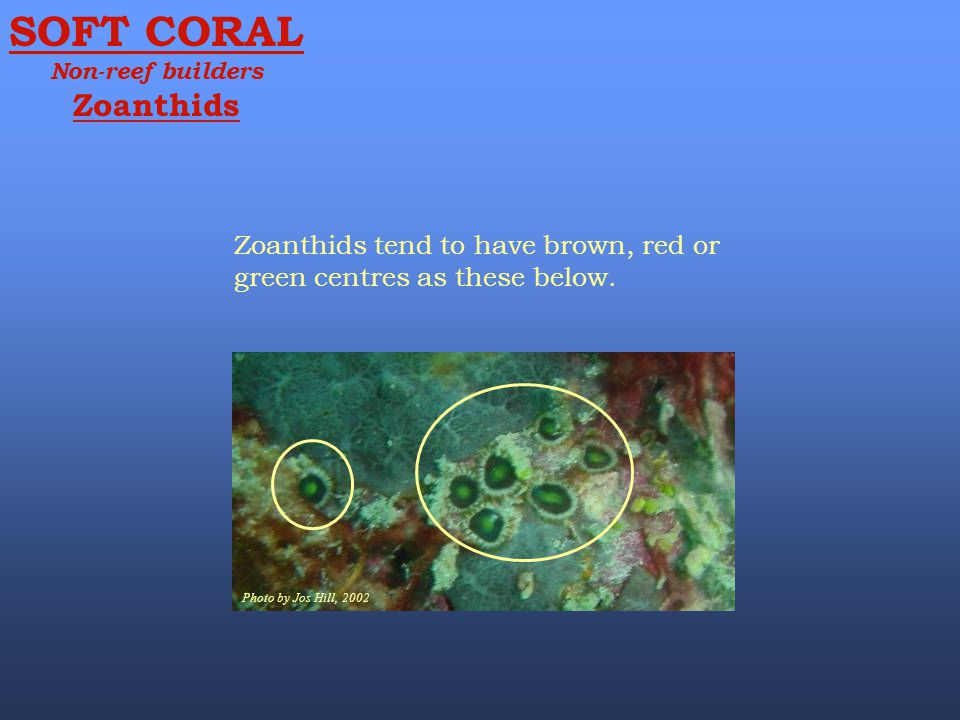 SOFT CORAL Non-reef builders. Zoanthids. Zoanthids tend to have brown, red or green centres as these below.