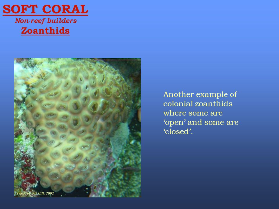 SOFT CORAL Non-reef builders. Zoanthids. Photo by Jos Hill, 2002.