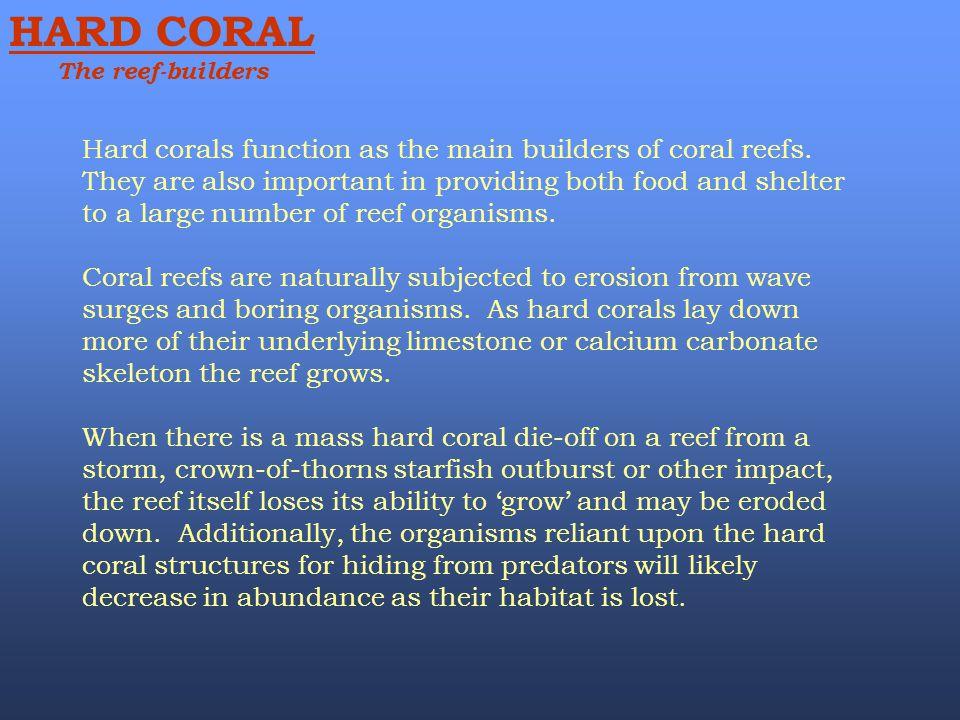 HARD CORAL The reef-builders.