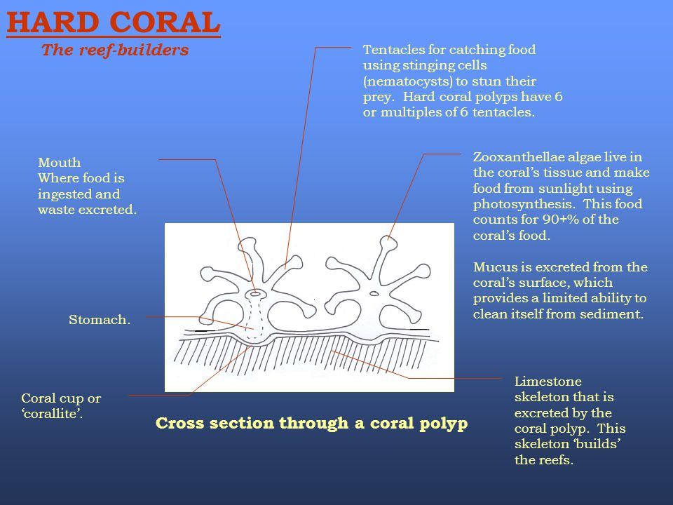 HARD CORAL The reef-builders Cross section through a coral polyp