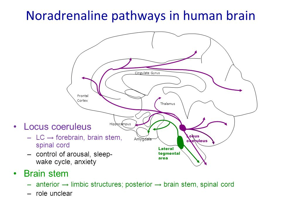 Noradrenaline pathways in human brain
