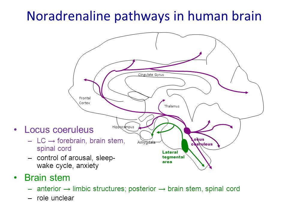 Noradrenaline pathways in human brain