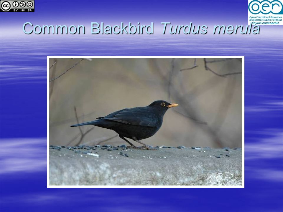 Common Blackbird Turdus merula