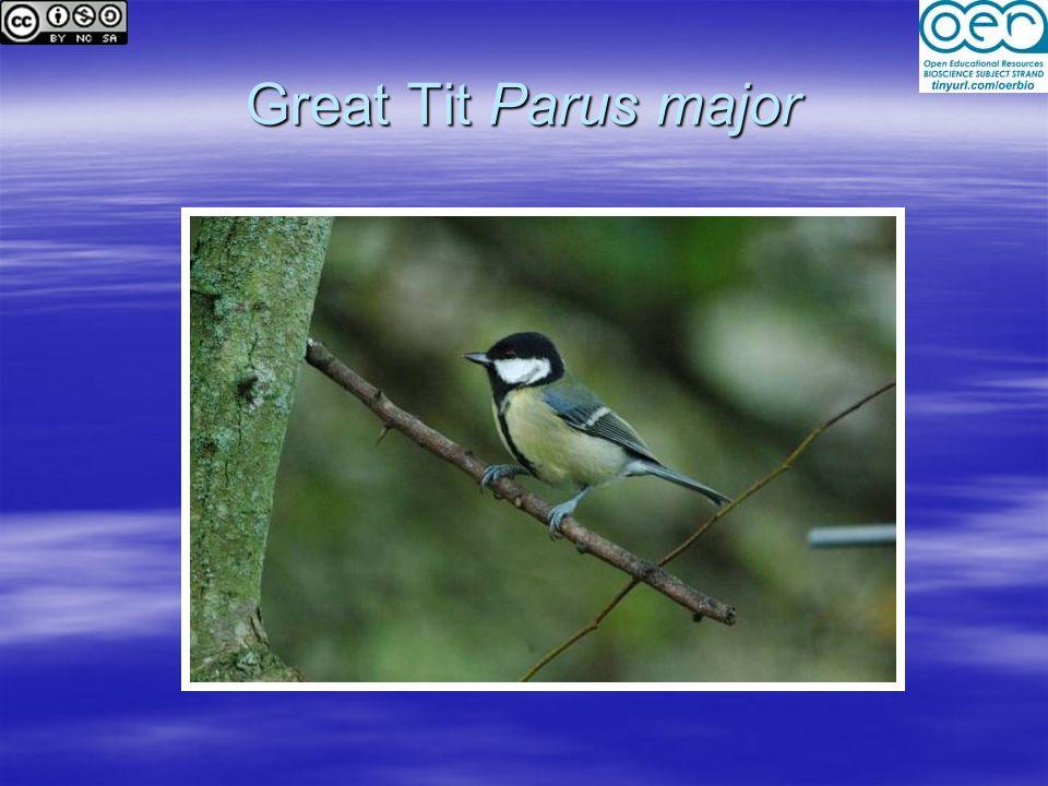 Great Tit Parus major