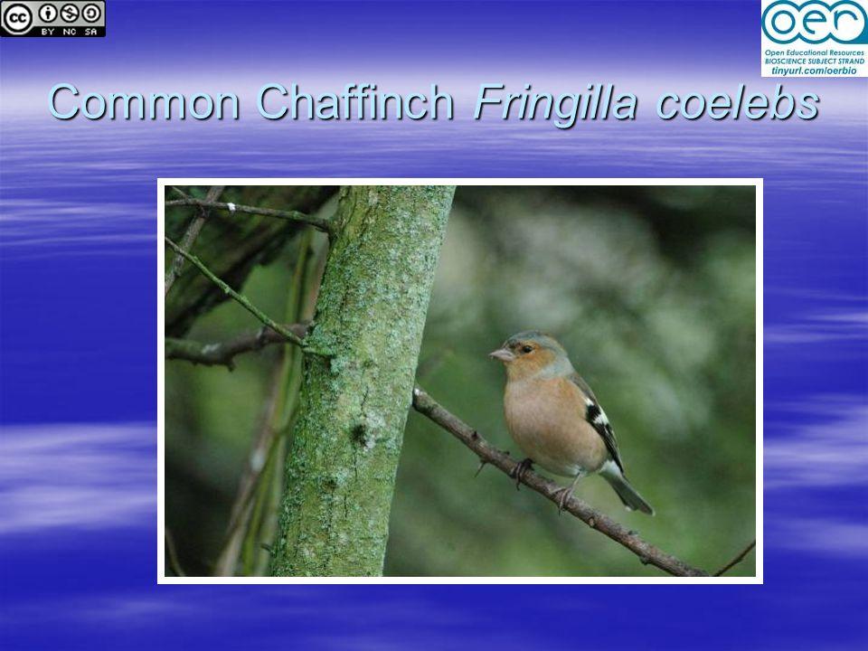 Common Chaffinch Fringilla coelebs