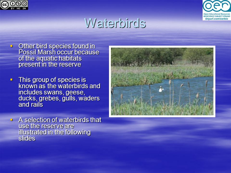 Waterbirds Other bird species found in Possil Marsh occur because of the aquatic habitats present in the reserve.
