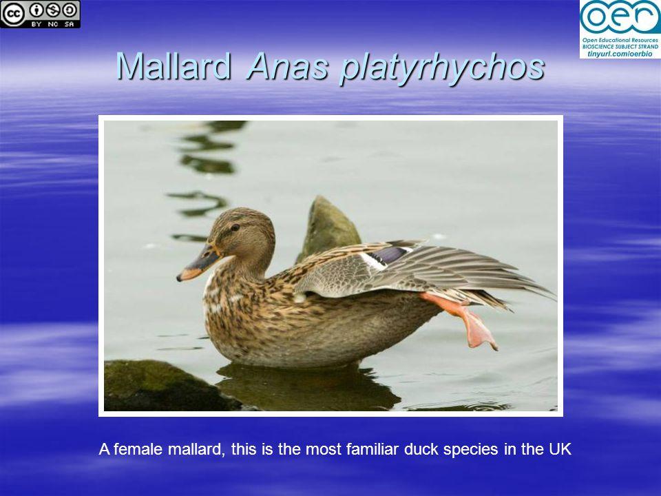 Mallard Anas platyrhychos
