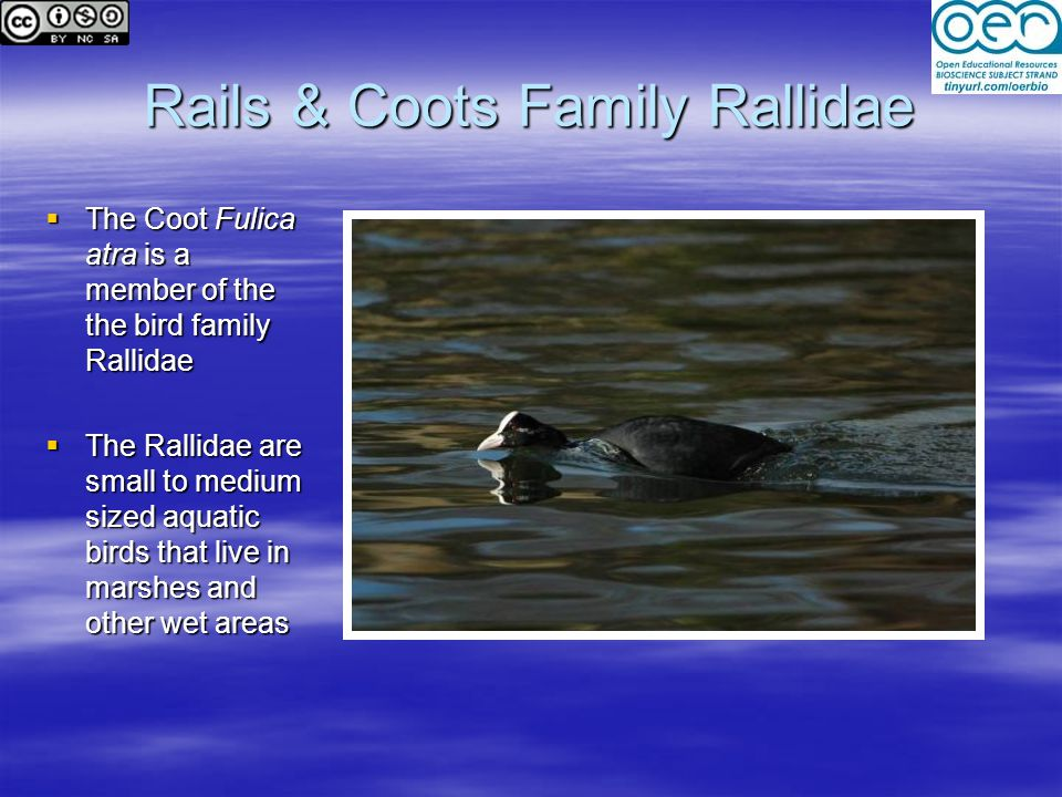 Rails & Coots Family Rallidae