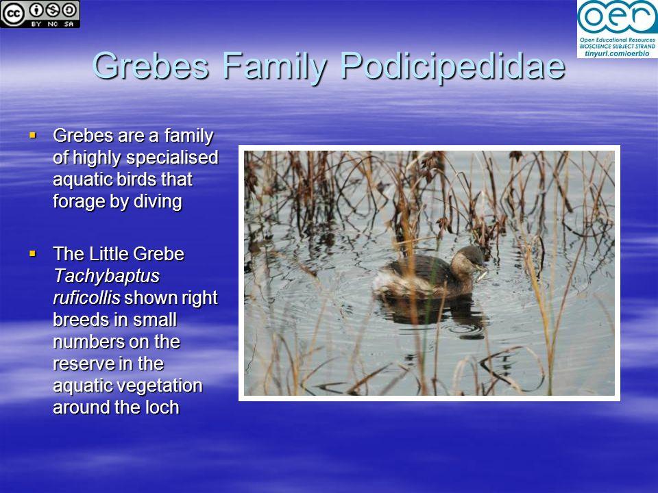 Grebes Family Podicipedidae