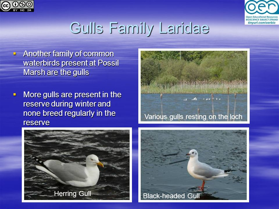 Various gulls resting on the loch