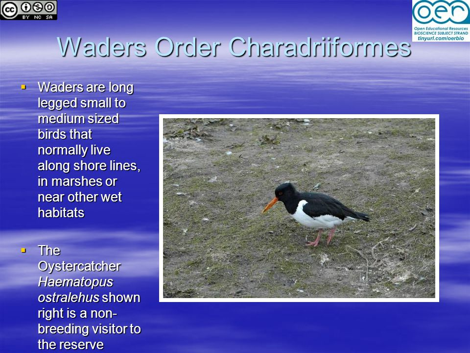 Waders Order Charadriiformes