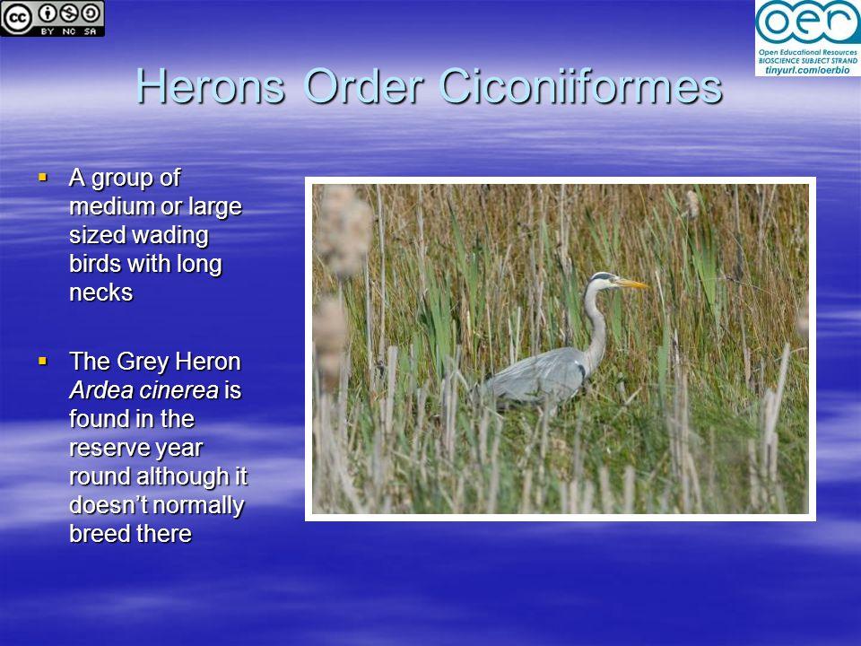 Herons Order Ciconiiformes