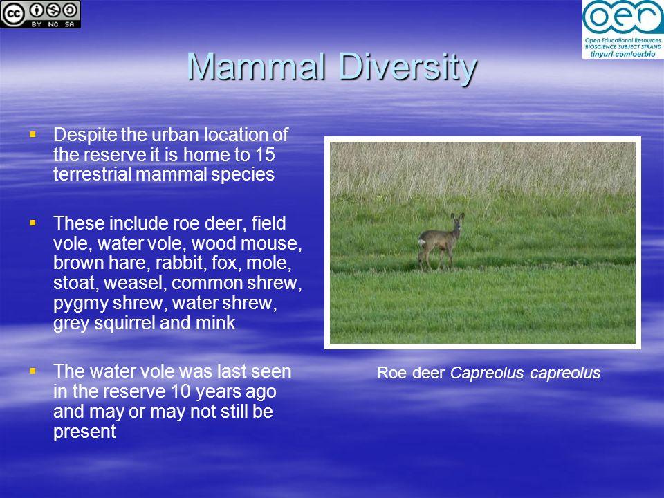 Roe deer Capreolus capreolus