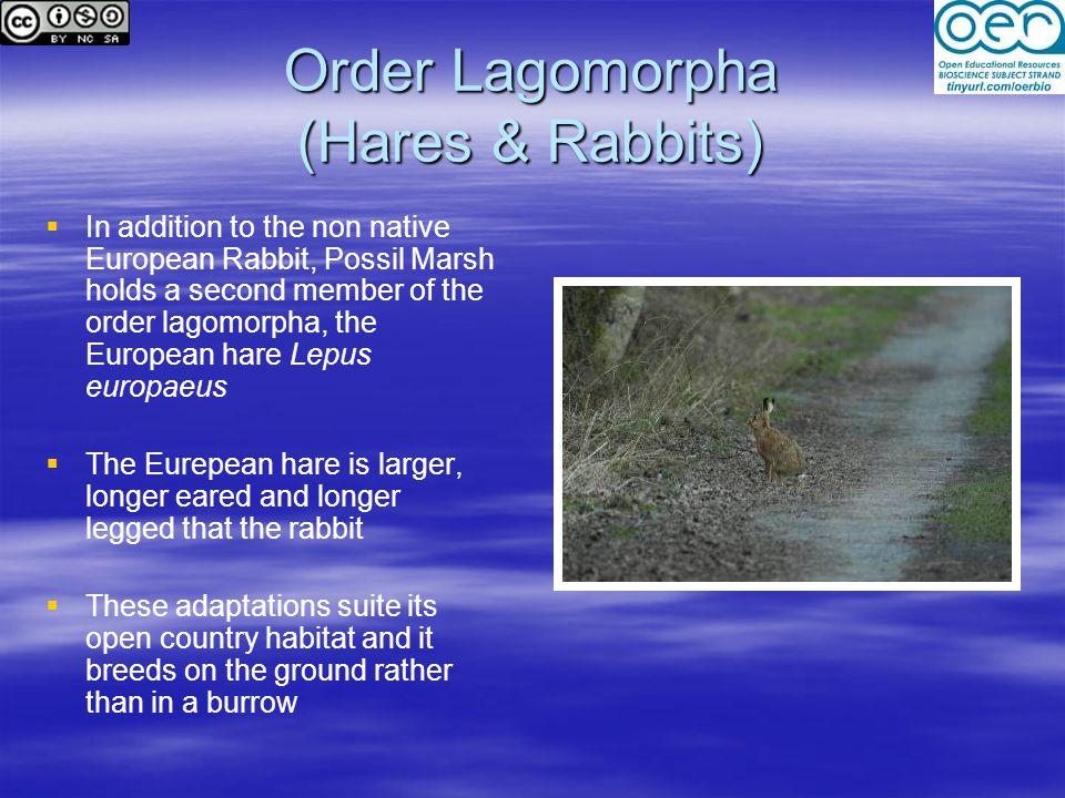 Order Lagomorpha (Hares & Rabbits)