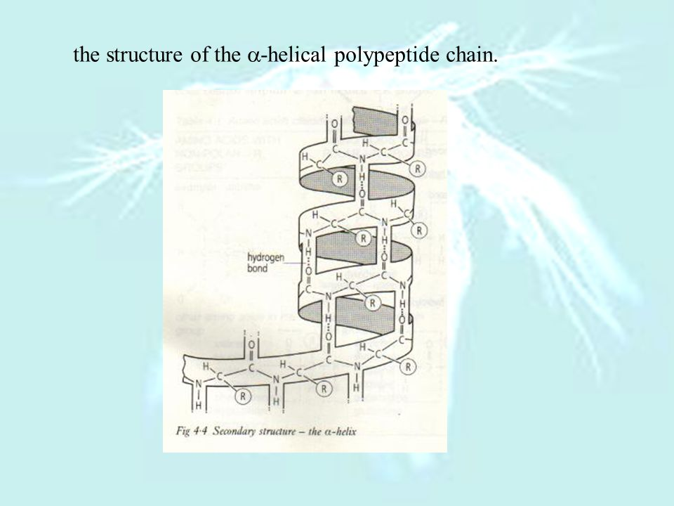the structure of the -helical polypeptide chain.