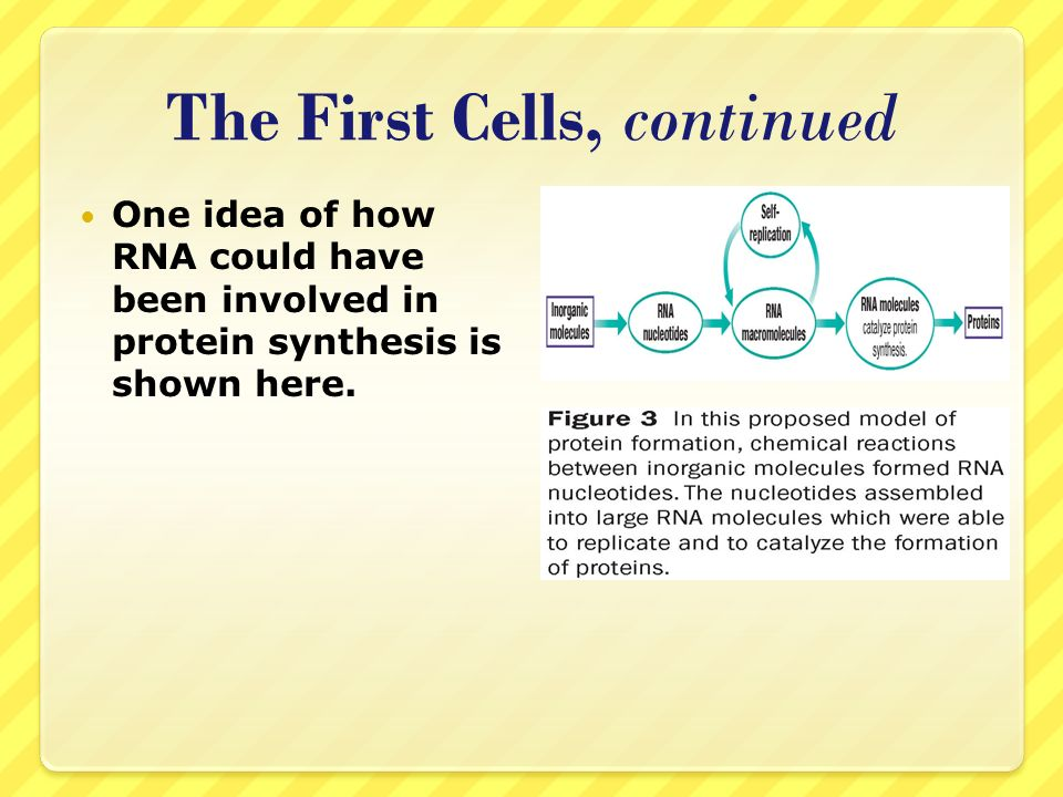 The First Cells, continued