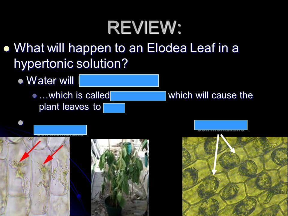 REVIEW: What will happen to an Elodea Leaf in a hypertonic solution