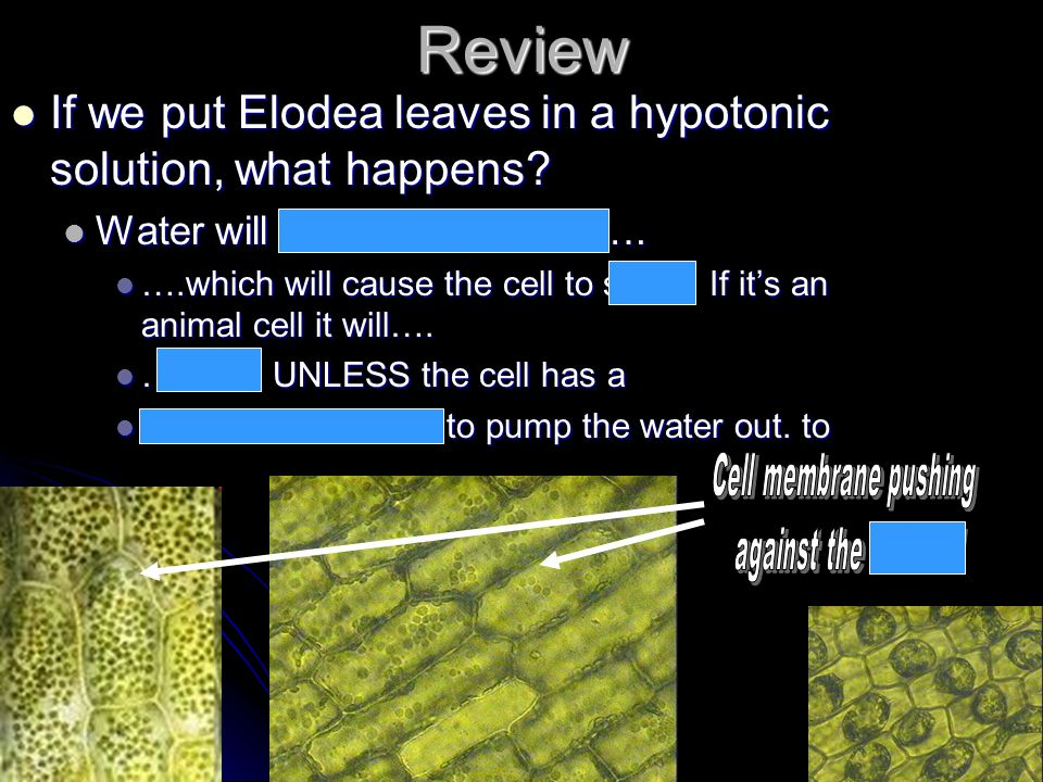 Review If we put Elodea leaves in a hypotonic solution, what happens