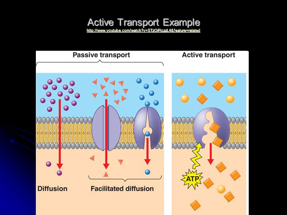 Active Transport Example http://www. youtube. com/watch