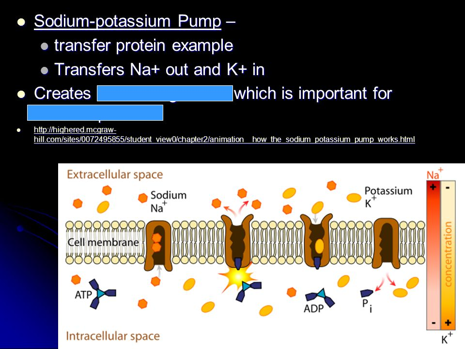 Sodium-potassium Pump – transfer protein example