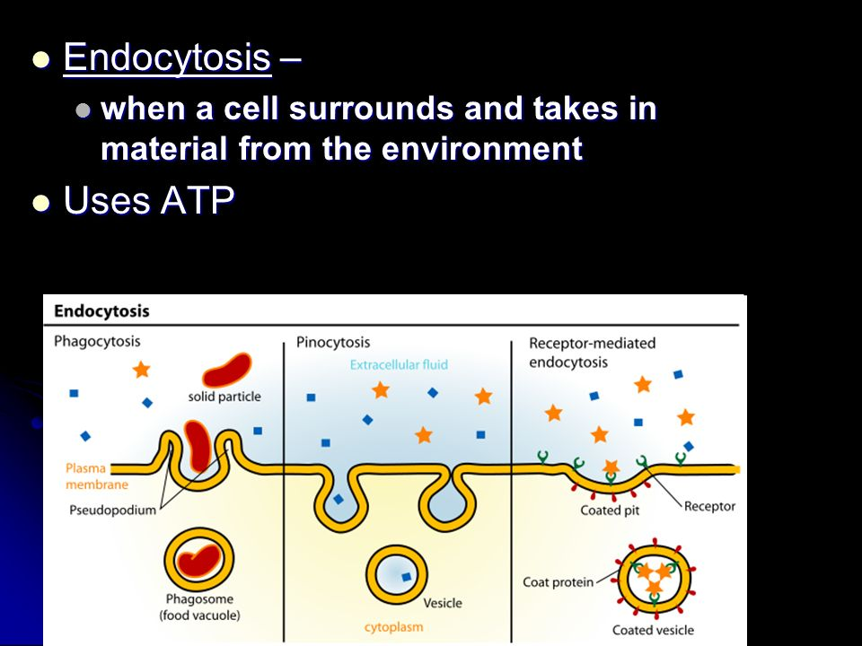 Endocytosis – when a cell surrounds and takes in material from the environment Uses ATP