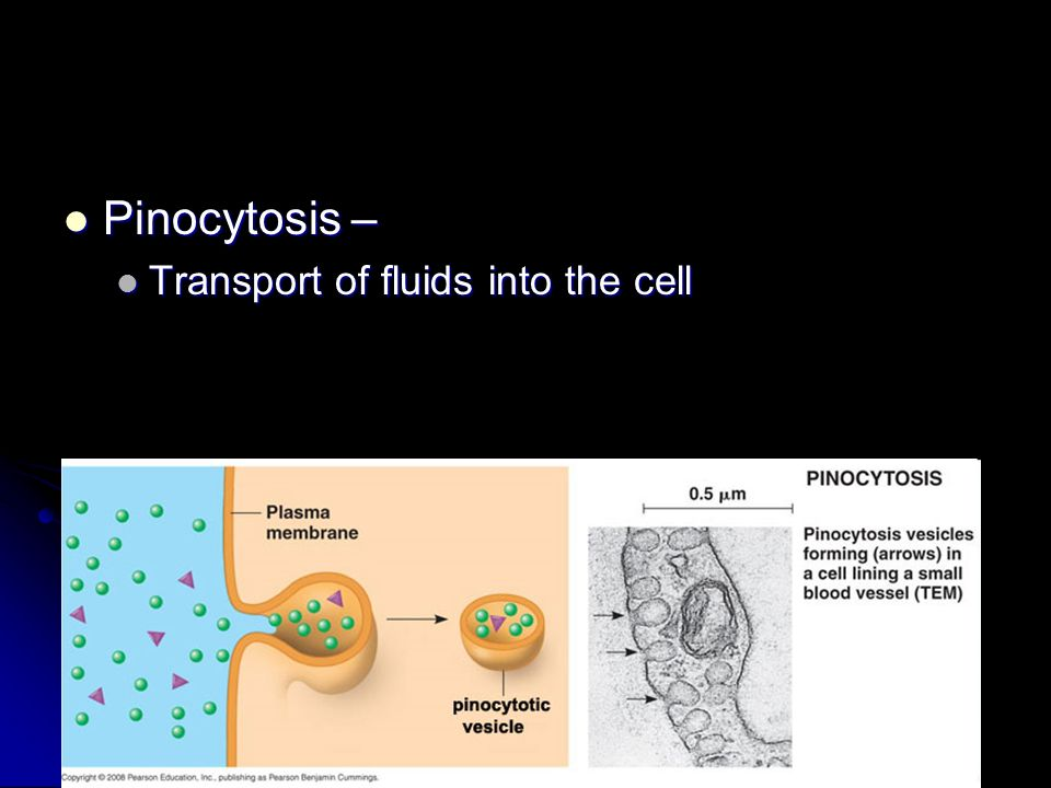 Pinocytosis – Transport of fluids into the cell