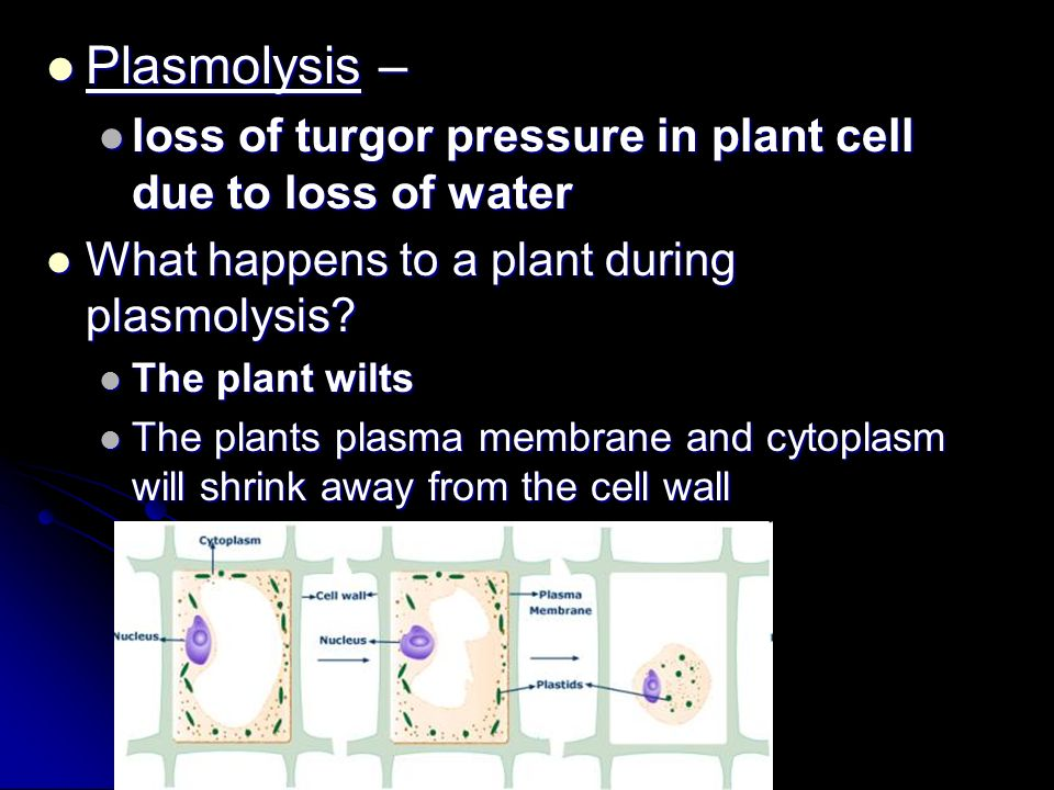 Plasmolysis – loss of turgor pressure in plant cell due to loss of water. What happens to a plant during plasmolysis