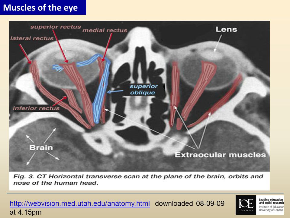 Muscles of the eye http://webvision.med.utah.edu/anatomy.html downloaded 08-09-09 at 4.15pm