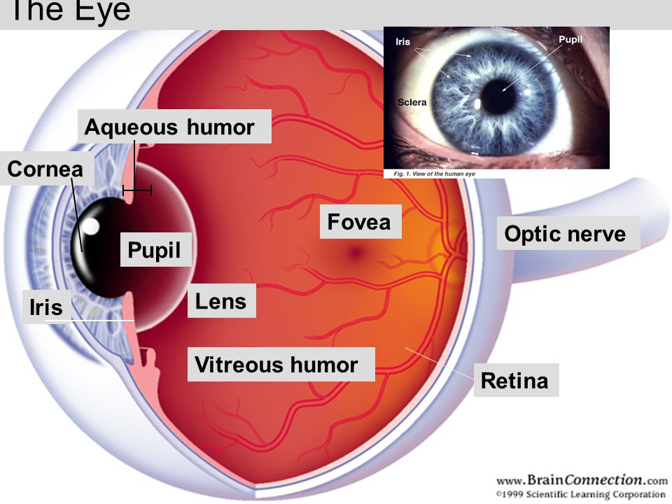 The Eye Aqueous humor Cornea Fovea Optic nerve Pupil Lens Iris