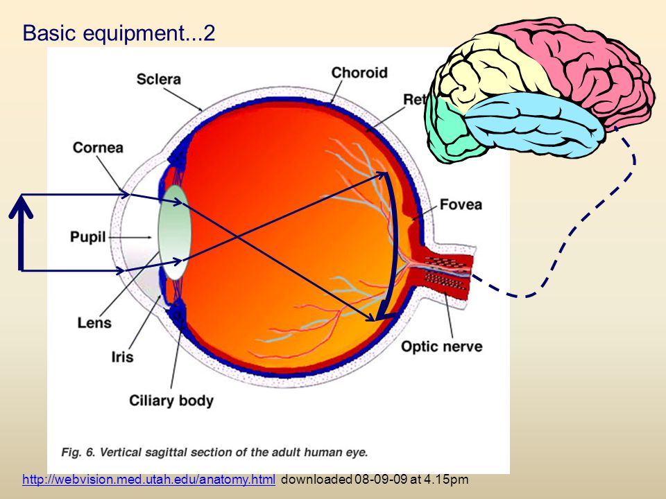 Basic equipment...2 http://webvision.med.utah.edu/anatomy.html downloaded 08-09-09 at 4.15pm