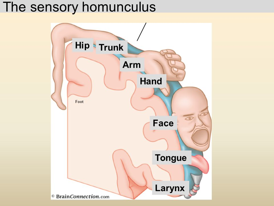 The sensory homunculus