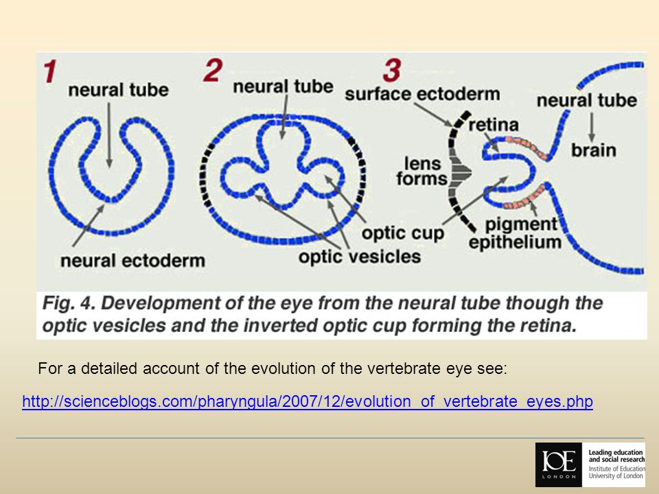 For a detailed account of the evolution of the vertebrate eye see: