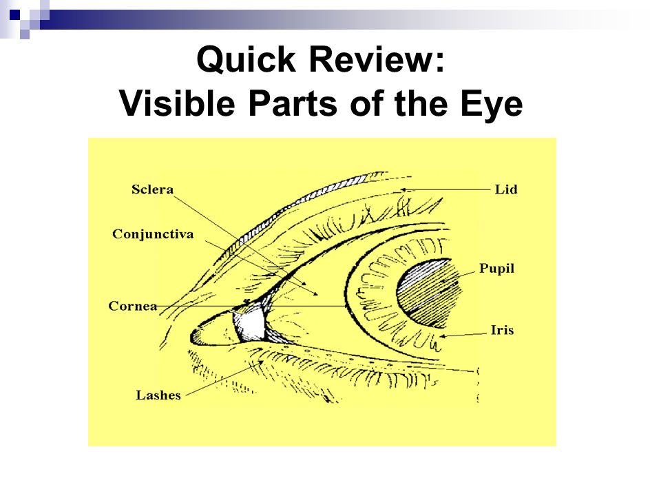 Quick Review: Visible Parts of the Eye