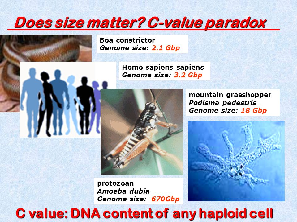 Does size matter C-value paradox