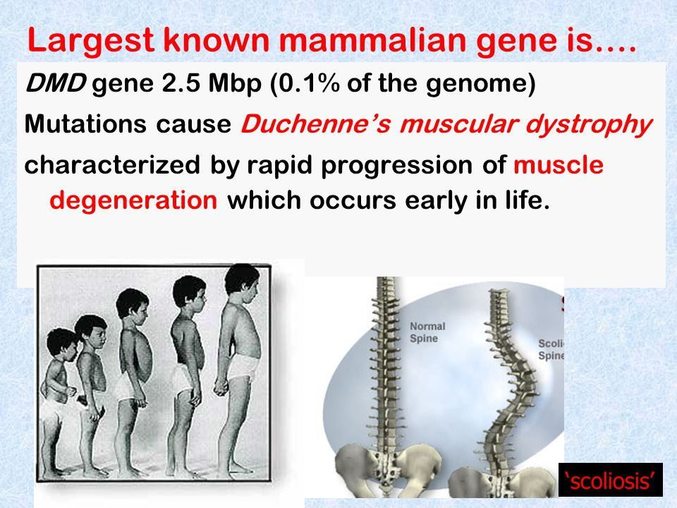 Largest known mammalian gene is….