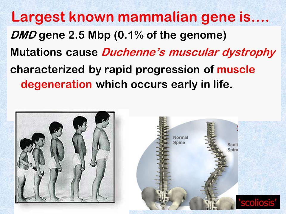 Largest known mammalian gene is….
