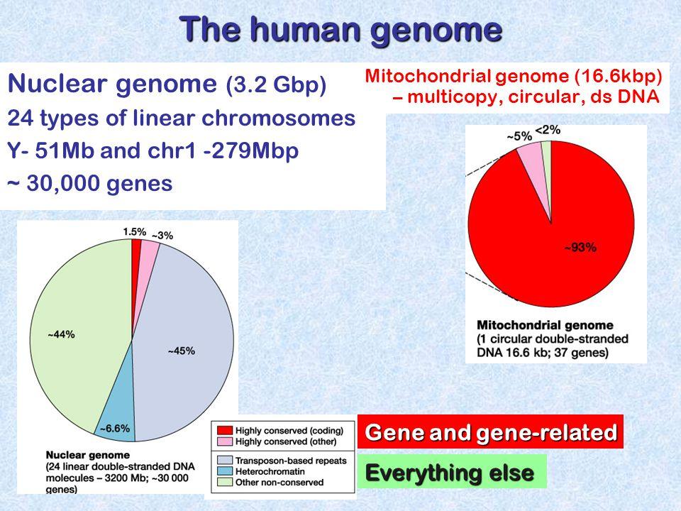 Mitochondrial genome (16.6kbp) – multicopy, circular, ds DNA