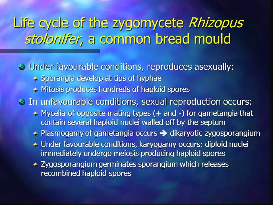 Life cycle of the zygomycete Rhizopus stolonifer, a common bread mould