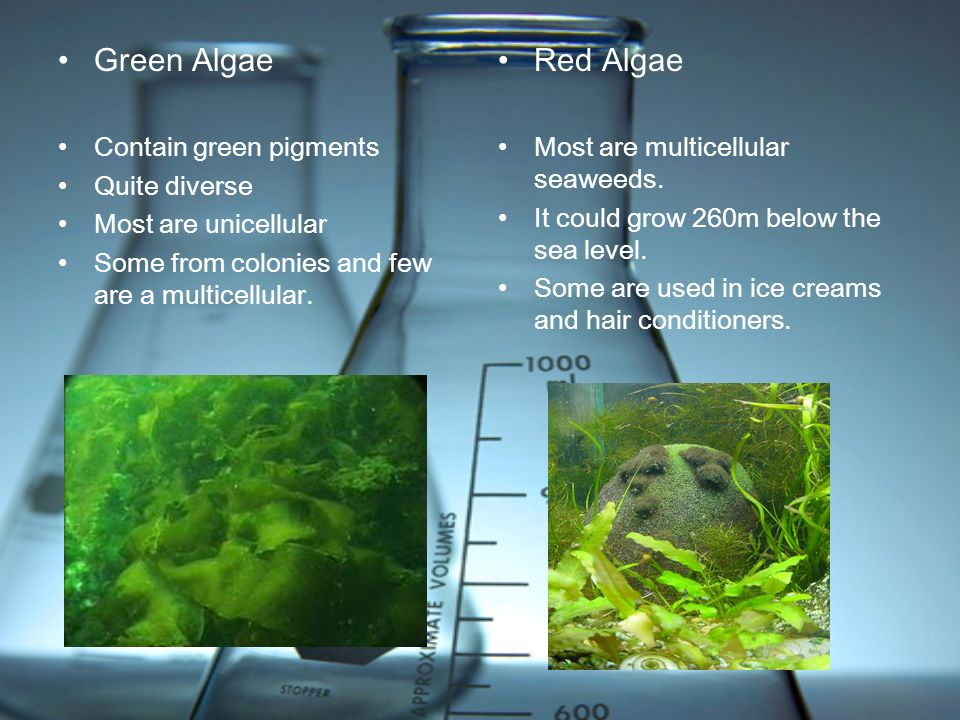 Green Algae Red Algae Contain green pigments Quite diverse