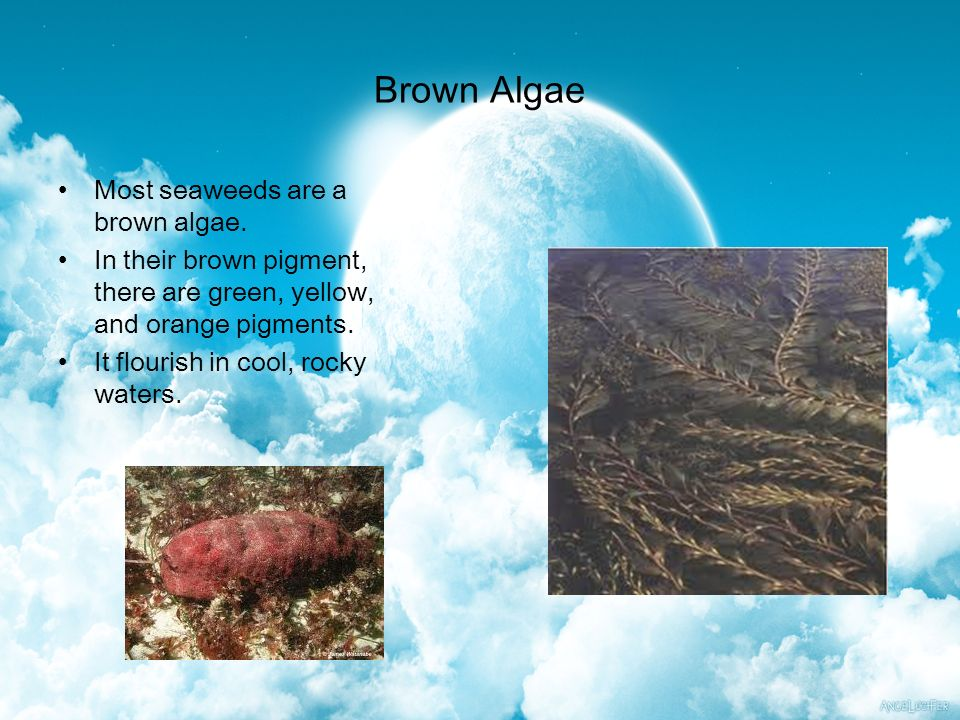 Brown Algae Most seaweeds are a brown algae.