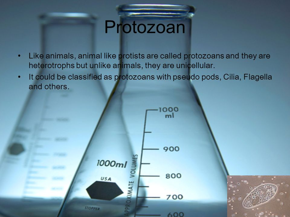 Protozoan Like animals, animal like protists are called protozoans and they are heterotrophs but unlike animals, they are unicellular.