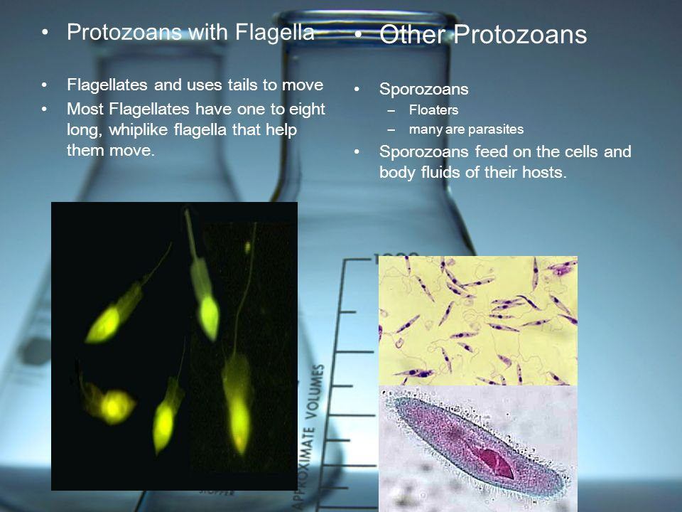 Other Protozoans Protozoans with Flagella